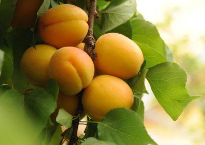 Frukt fotografering aprikoser lysterart.com