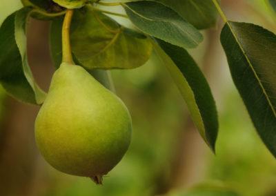 Frukt fotografering päron  lysterart.com